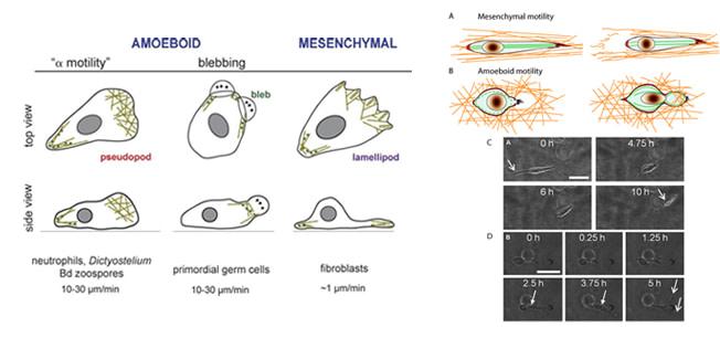 """""""کاسپاز"""" پروتئازهایی هستند که به صورت زیموژن های غیرفعالی سنتز شده و در خلال آپوپتوز متحمل شکست های پروتئولتیک میشوند."""
